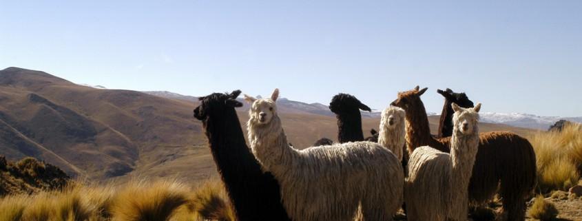 alpaca-fibre-nobili-piacenza-cashmere